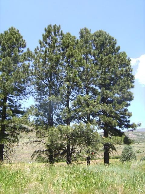Ponderosa Pine Tree Images Plant Identification -...